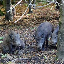 Wildschweingehege am Kehr in Göttingen